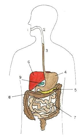 imagenes del sistema digestivo dibujo actividad 14 aparato digestivo humanomira el dibujo y