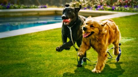compare golden retriever and labrador retriever breed comparison labrador retriever vs golden retriever rover
