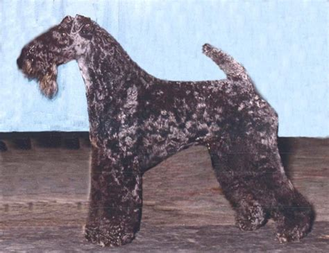 kerry blue terrier breed guide learn   kerry