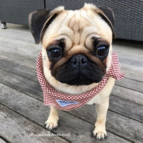 brown and white pug best 25 white pug ideas on pugs baby black pug and pug puppies