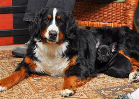 white bernese mountain bernese mountain breed 187 info pictures more