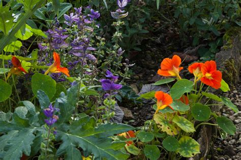 Companion Flowers For Vegetable Garden Do It Yourself Guide To Companion Planting Australian