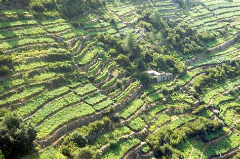 terrazzamenti in collina cinque terre terrazzamenti pesto e basilico mondo