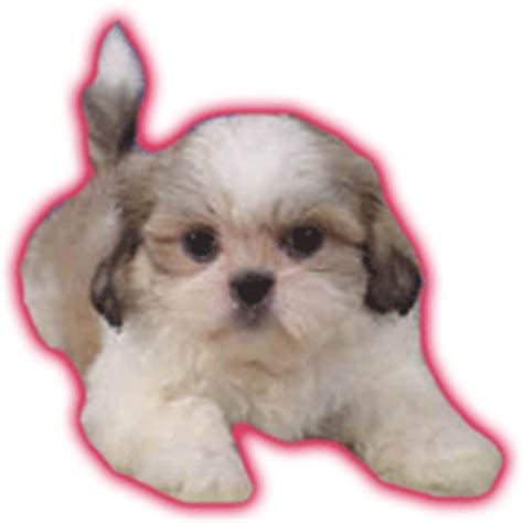 shih tzu gif pictures animations dogs myspace cliparts