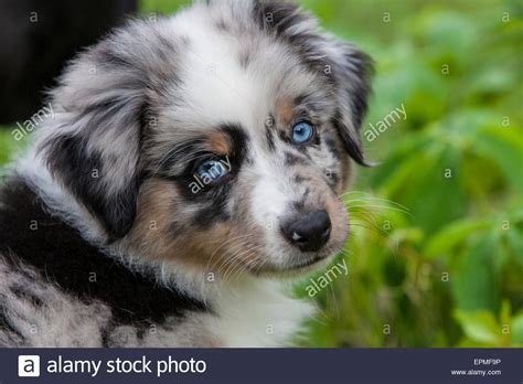 australian shepherd puppies idaho australian shepherd puppies are agile energetic and into stock photo royalty