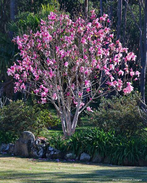 magnolia liliiflora x magnolia cbellii magnolia star