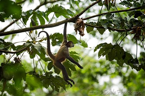 swinging monkeys vacations costa rica costarica 47