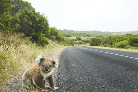 17  Koala Bear wallpapers HD free Download