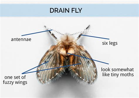 Sink Drain Flies by Tips And Tricks To Rid Drain Flies Craft O Maniac
