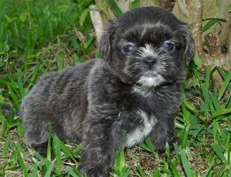 shih tzu coat colors shih tzu colors and information