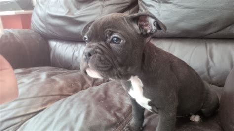 pug bulldog mix puppies for sale pug bulldog mix puppies for sale breeds picture
