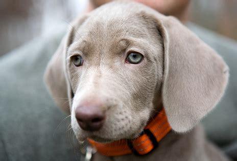 how much are weimaraner puppies weimaraner puppy photos png 1 comment