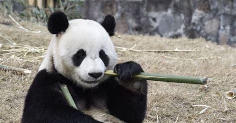 fotos de grupo panda panda gigante continua amea 231 ado agora por mudan 231 as