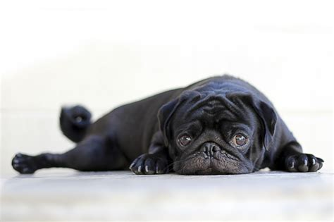 information about pug 10 awesome facts about pugs the pug diary