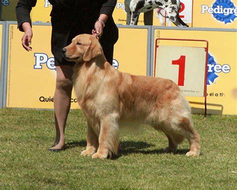 golden retriever rescue melbourne cachorros golden retriever costa rica dogs in our photo
