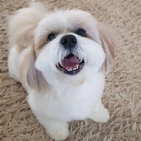 cani da appartamento taglia grande cani piccola taglia le 36 razze di cani piccoli perfette