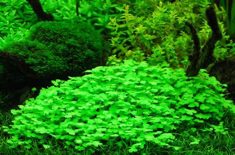 Tanaman Aquascape Hydrocotyle Tripartita kalakay murag tanaman foreground aquascape