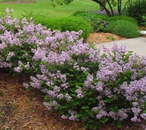 dwarf lilac bush varieties www imgkid com the image kid has it