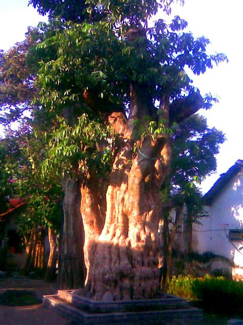 Jual Bibit Tin Surabaya jual pohon pule di gorontalo jual bibit tanaman
