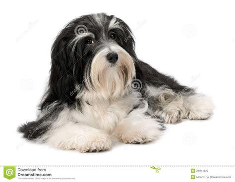 havanese prezzo di cucciolo di menzogne sveglio di bichon havanese immagine stock immagine di