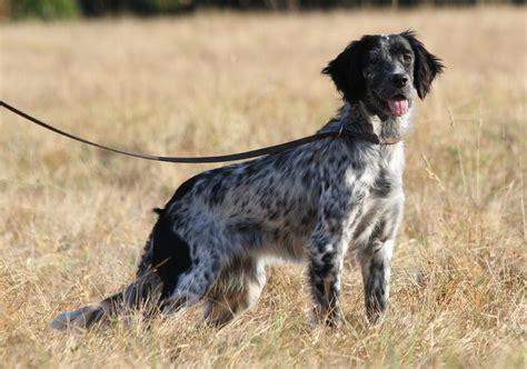 definition de setter myrtille roc mignon 233 levage de chien de chasse setter
