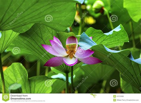 pink lotus stamen pink lotus flower stamen up beijing china stock