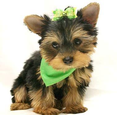 puppy boutique ny puppy boutique ny