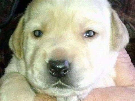 ozark mountain puppies akc puppies for sale in missouri akc marketplace