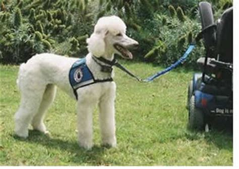 how do they service dogs do poodles these poodle photos say it all