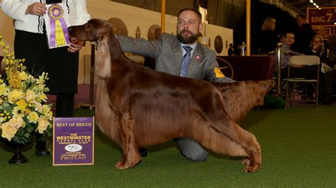 show dogs westminster show results day 2 westminster kennel club