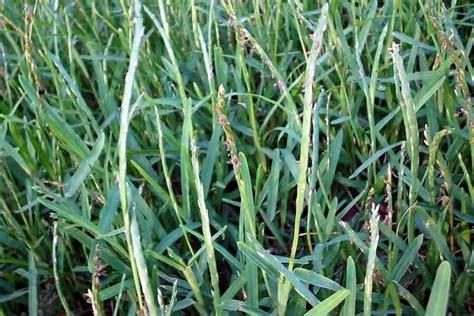 scientific name of couch grass stenotaphrum secundatum