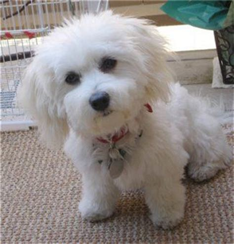 havanese and bichon mix bichon frise dogs and stella mccartney on