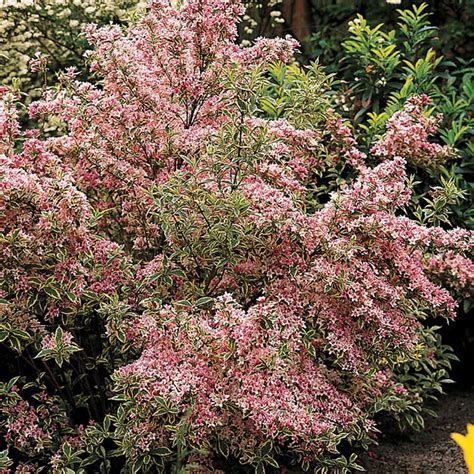 flowering shrubs deer resistant 17 best images about shrubs in florida on blue