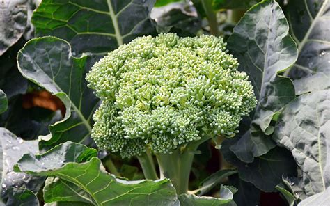 Gardening Broccoli Botany All About Plants On Flipboard
