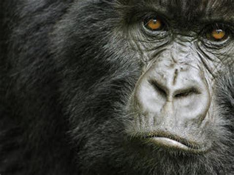 Cross River Gorilla | Species | WWF