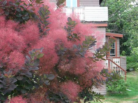 smoke bush for the garden trees shrubs pinterest