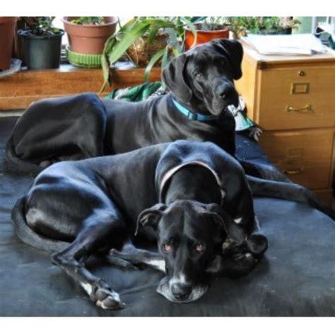 great dane puppies wisconsin great danes of burns great dane breeder in bangor wisconsin