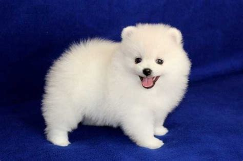 teacup pomeranian toronto teacup size pomeranian puppies for sale adoption from toronto ontario adpost