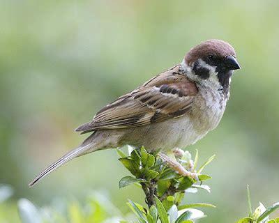 Tempat Makan Burung Liar burung gereja sebagai isian burung murai dan kacer