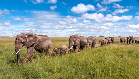 safari home decor wildlife elephant family parade across wildlife photo of the week elephants on parade