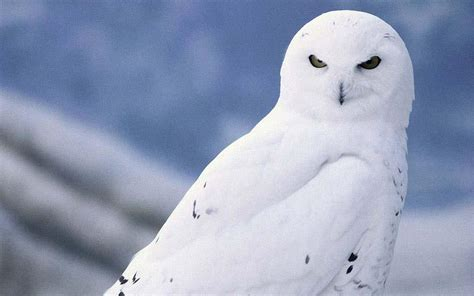 White Owl L Base photo collection arctic snowy owl wallpaper