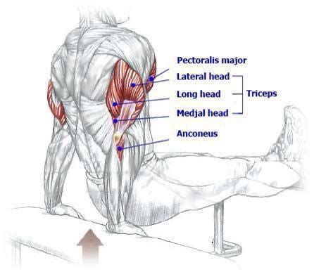 bench dips muscles worked triseps muscle diagrams pinterest benches and dips