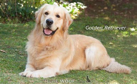 golden retriever large breed large golden retriever assistedlivingcares