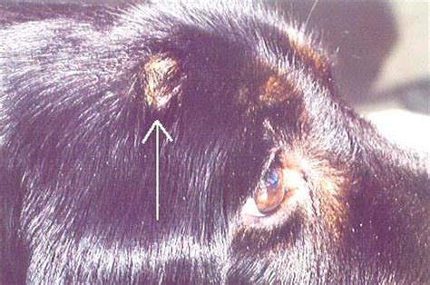 blastomycosis in dogs veterinary blatomycosis mycological institute for fungal mold research