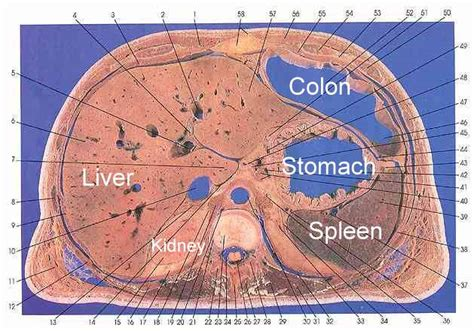 Cross Section Of Stomach by Cross Section Of The Stomach