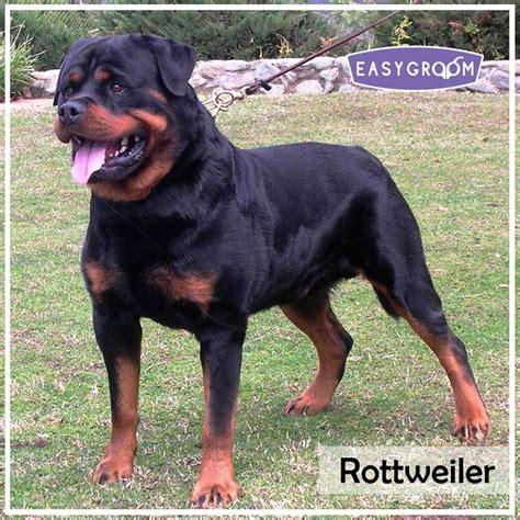 rottweiler puppies scotland 17 best images about razas de perros grandes on animals labrador