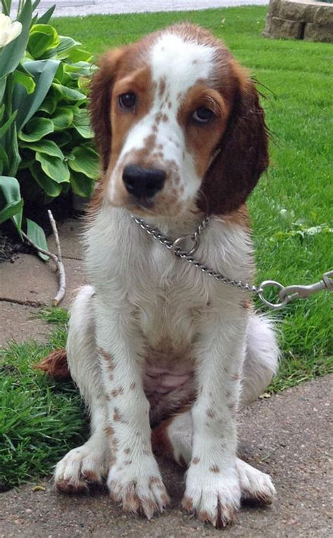 daily puppy the springer spaniel puppies daily puppy