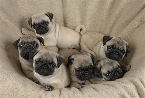 pictures of baby pugs for sale baby pugs for sale is listed in our pug litle pups