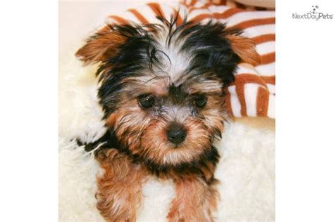 grown up yorkie cavite stud coat chihuahua pets accessories for sale breeds picture