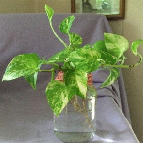 Hadiah Unik Bunga Berpengawet Pot Putih Bunga Dalam Pot sirih gading tanaman bandel corak daun unik bibitbunga